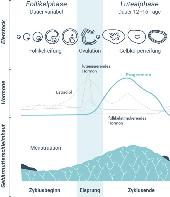 Progesteron-Funktionen im menschlichen Körper